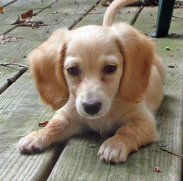Puppy Honey | August 7, 2007. | Doxieone | Flickr