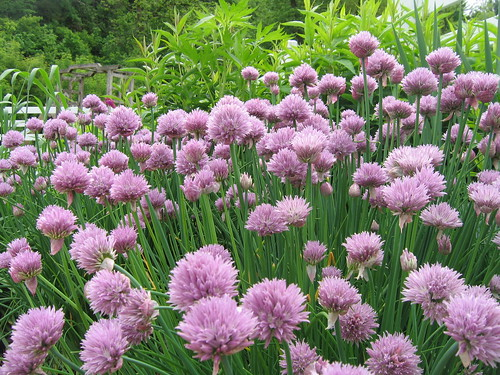 Chives at Seed Savers | by Jason Riedy