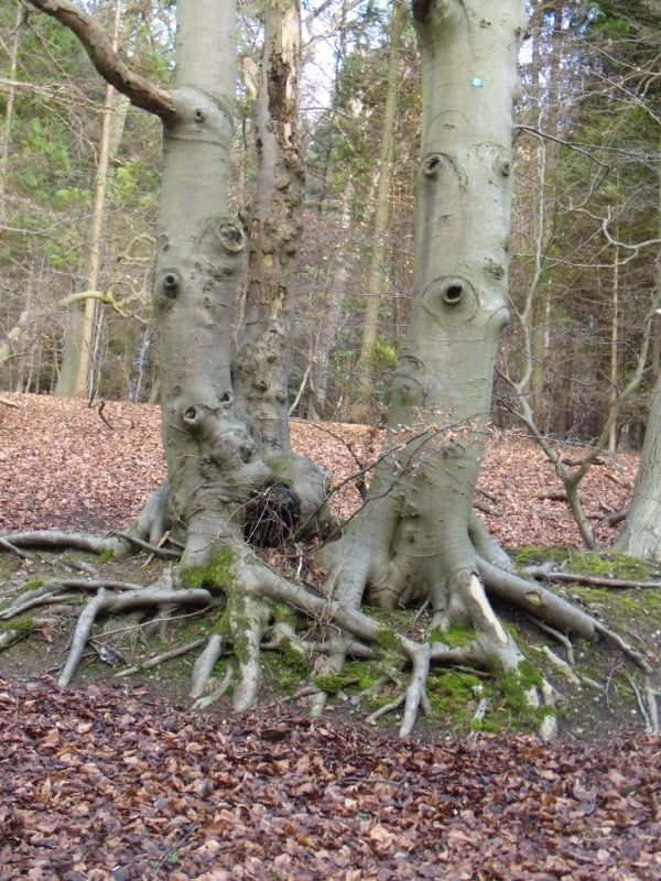 Mating squid ...er beeches actually. Near Pulpit Hill. Wendover Circular