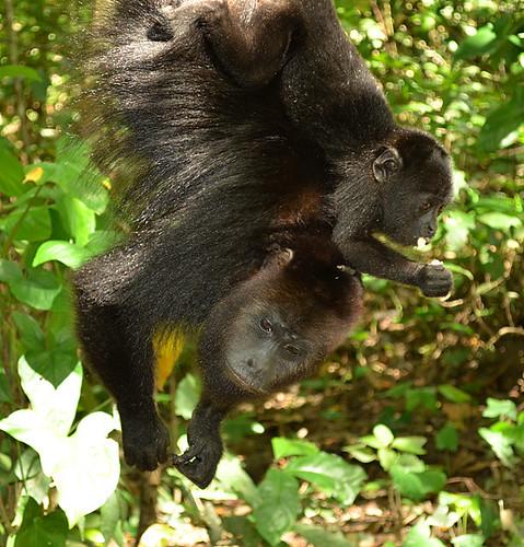 Community Baboon Sanctuary -Joe-4 | by KathyCat102