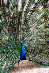 Peacock in his pride | by Kenichi Nobusue