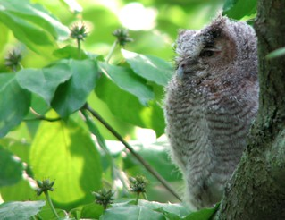 Fledged Eastern Screech Owl