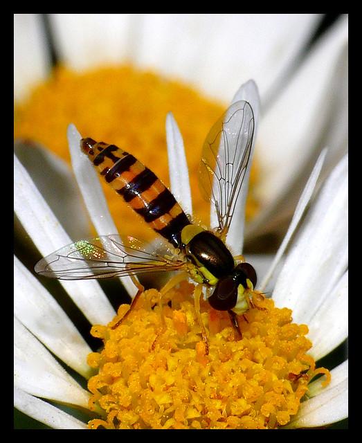Hoverfly Sucking Nectar