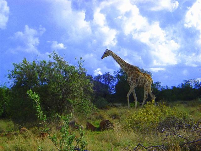 Giraffe on naval hill