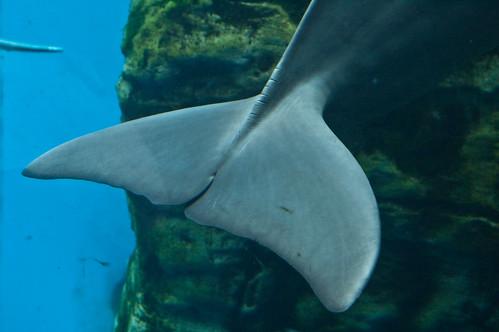 Coda di delfino