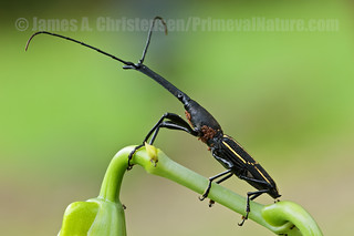 Nemorhinus myrmecophaga | by Primeval Nature