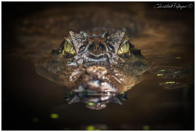 Il tuo sguardo di sicuro non passa inosservato // Caimano dagli occhiali (Caiman crocodilus)