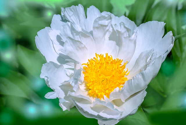 ***White Peony with Yellow Center