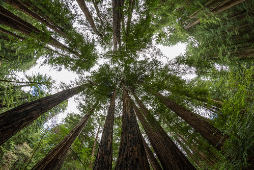 Fisheye view of canopy in Muir woods   by chris favero
