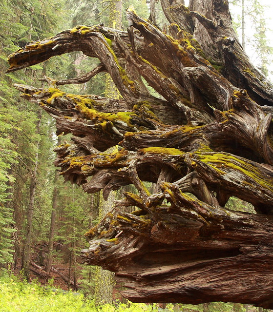Side view of the roots of a fallen Sequoia