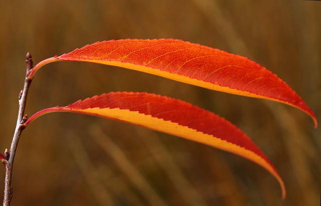oranjerood