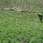 Potato farmer hoeing potatoes, Cordillero del Tunari, Cochabamba, Bolivia