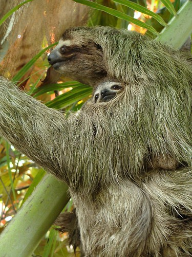 DSC03124 Sloth and baby | by Hobobiker