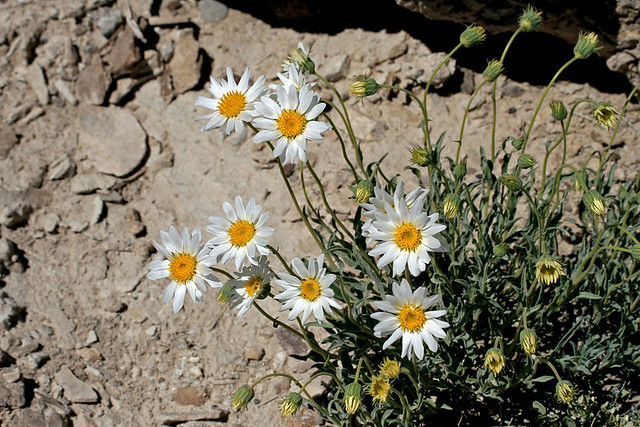 Daisies in the Desert