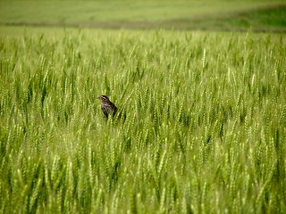 Bird in a Wheat Field | by cindy47452