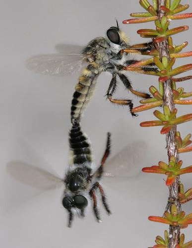 insect northcarolina robberfly coastalplain diptera asilidae canonef100mmf28macrousm carolinabeachstatepark megaphorus asilinae macromarvels megaphorusminutus