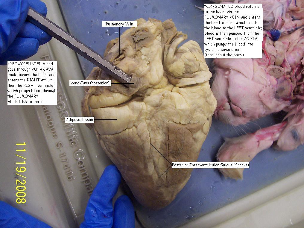 Labeled Sheep Heart Picture #3 | Alexandria | Flickr