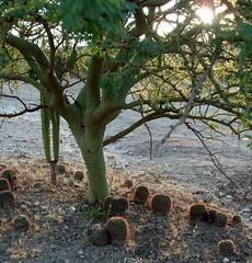 Cacti de espinas rojas y Palo Verde; entre San Rafael de las Tablas y San Juan Capistrano, Zacatecas, Mexico