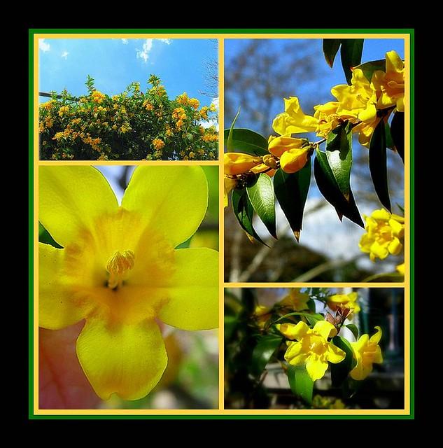 Carolina yellow jasmine