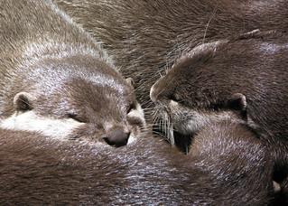 Otters Sleeping | by Liz Walker 1975