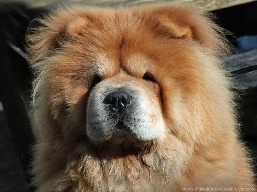 Beautiful Fluffy Chow Chow Dog...