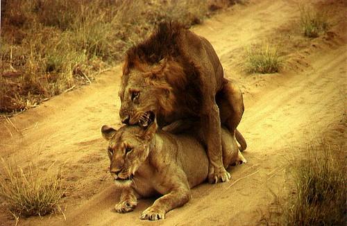 Lion Sex