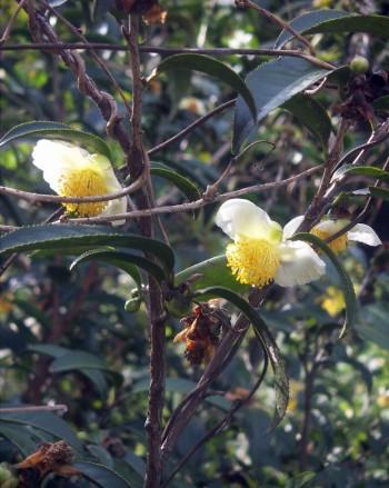 Camellia sinensis 3895525313_b01c4c48b7_o