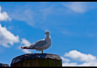 sea gull - Voxefx | by Vox Efx