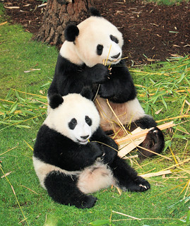 Little Zhen Zhen and Bai Yun eating together while enjoying the new sod   by kjdrill