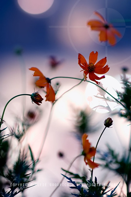 The cosmos flowers keep calling me......