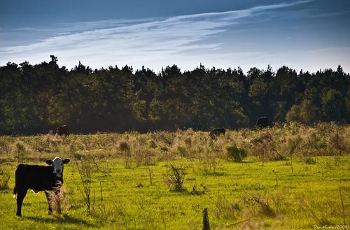 field cows pasture d80