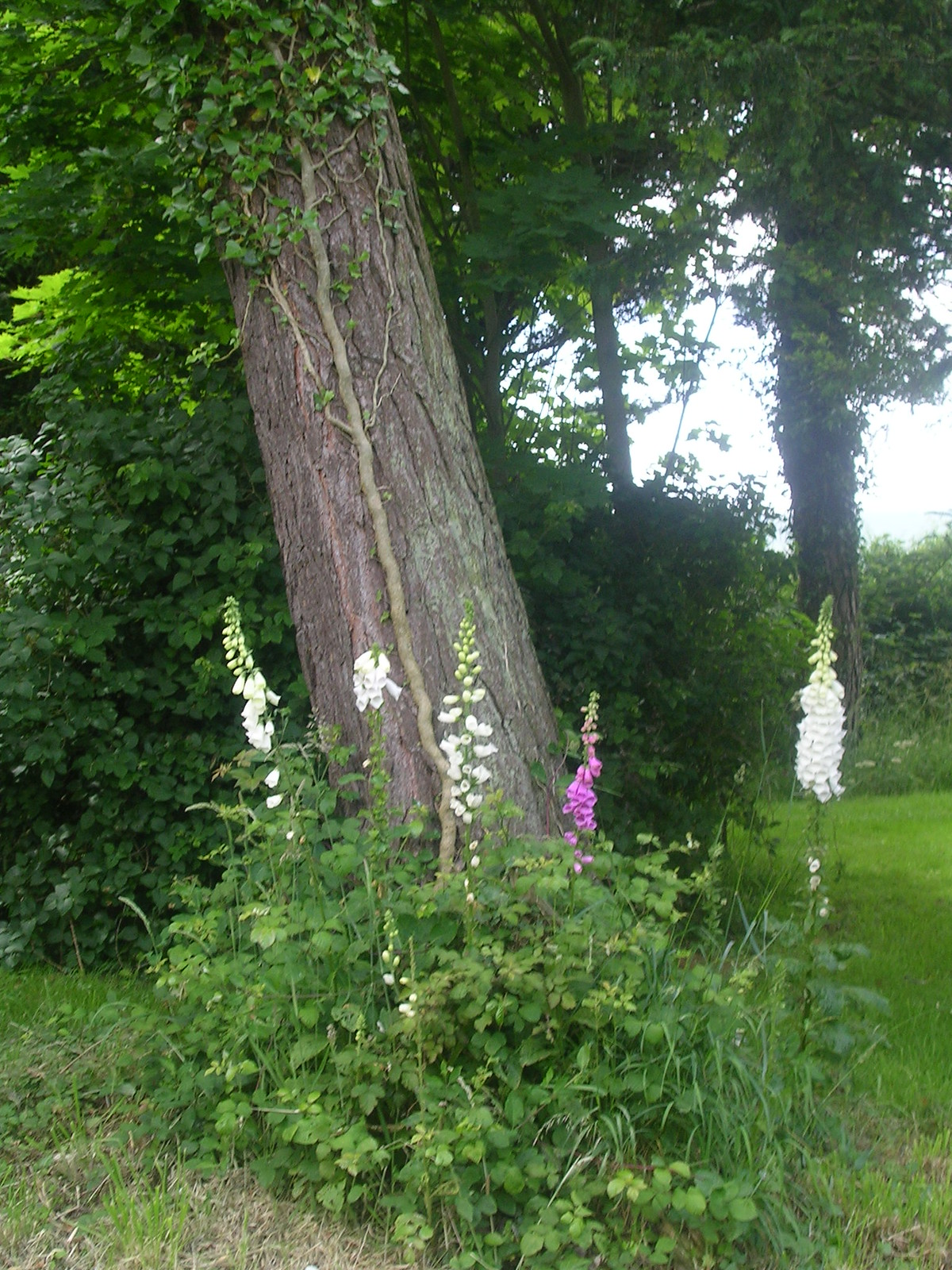 Foxgloves - Arlington Churchyard Berwick to Eastbourne