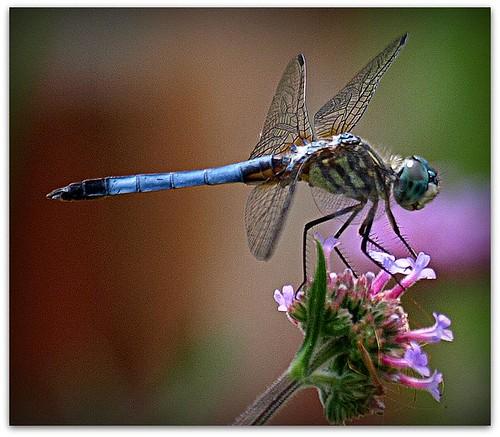 dragonfly picnik verbena naturesfinest bluedasher mywinners