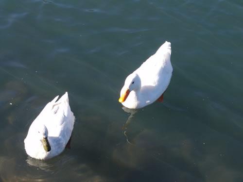 ducks4 | by raowen