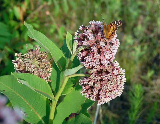 Common milkweed and friends, Spring Green Preserve