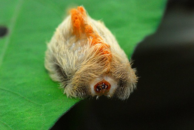 Southern Flannel Moth - Megalopyge opercularis
