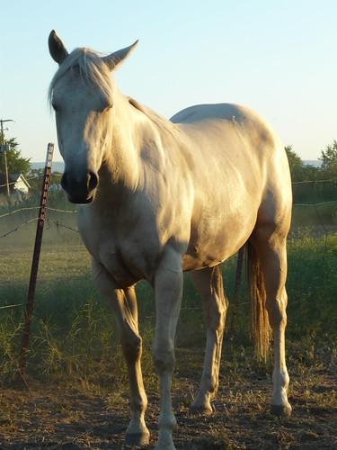 sunset horses quarterhorse palomino