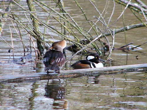 Hooded Merganser (Lophodytes cucullatus) | by Crappy Wildlife Photography