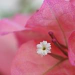 Bougainvillea ~ flower