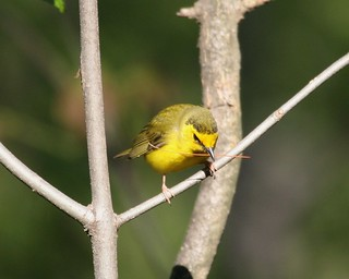 Hooded Warbler | by no ceiling
