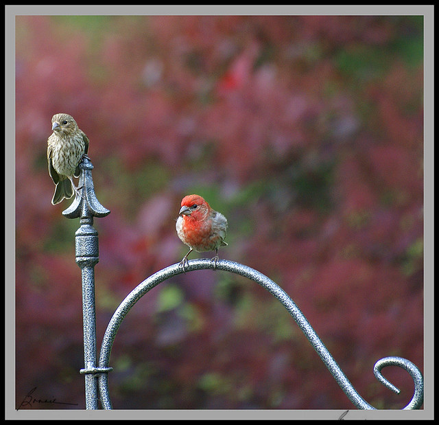mr and mrs house finch