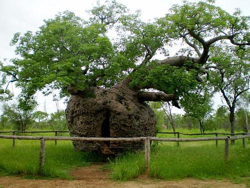 Prison Boab Tree | by tm-tm