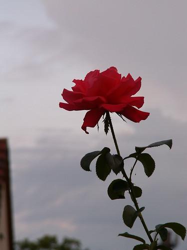 Rose und wie du siehst am Hang dort immergrün scheinlos, doch früchtereich, den Lorbeer blühn, ein Sinnbild edlen Ruhms, der fortbesteht, ob er auch bunten Farbenprunk verschmäht, so laß mich in dir leben fort und fort und klage nicht um mich mit bangem Wort der Blume 023