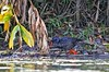 African Finfoot - Lake Nduro Uganda 06_4003-3 by fveronesi1