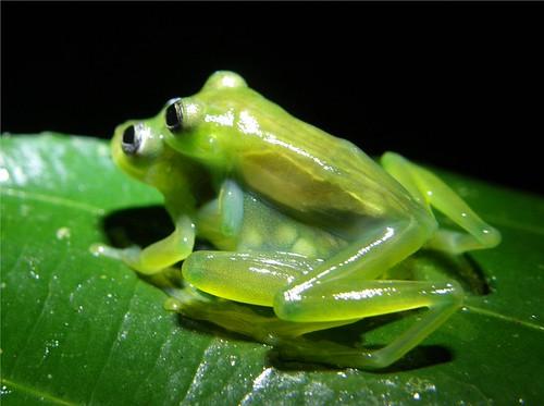 Centrolene amplexus
