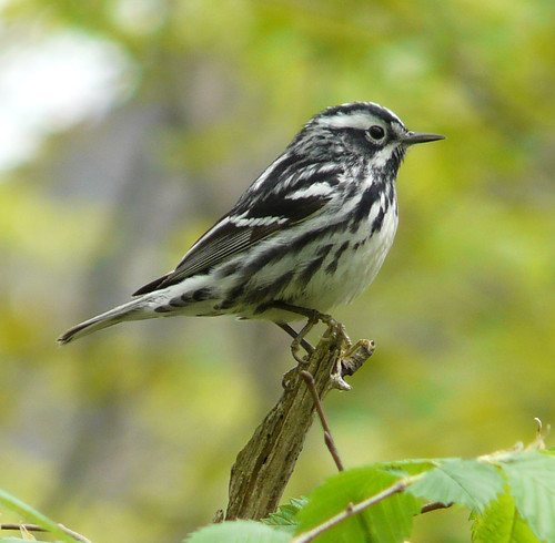 Black-and-white Warbler | by jweckstein