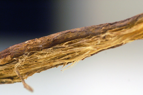 licorice root | by denAsuncioner
