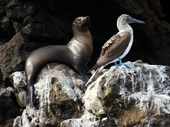 blue footed boobie and sea lion