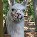 Humble Garden 2008: Misty the guard llama