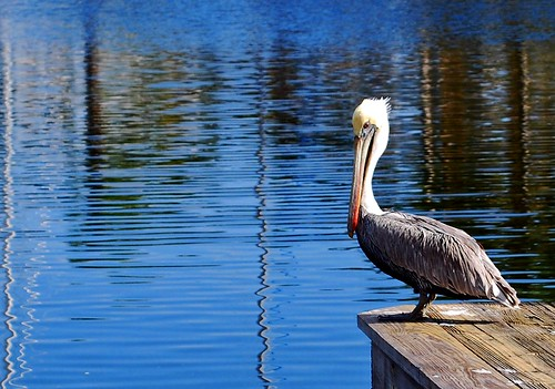 blue reflection water dock florida pelican digitalcameraclub platinumphoto aplusphoto onlyyourbestshots